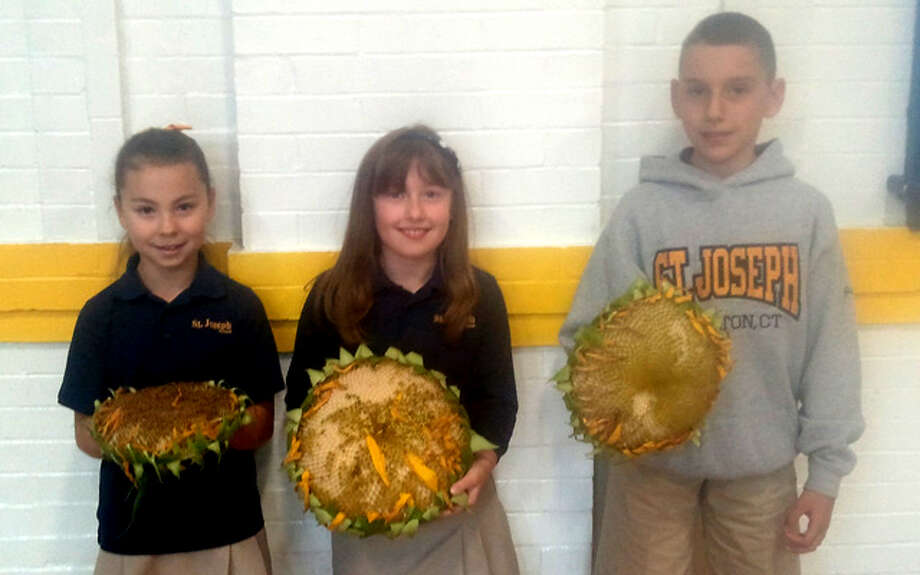 From left with their sunflower submissions, from left, are St. Joseph School students Emma Eschweiler, Chloe Garrow and Jason Brezosky.