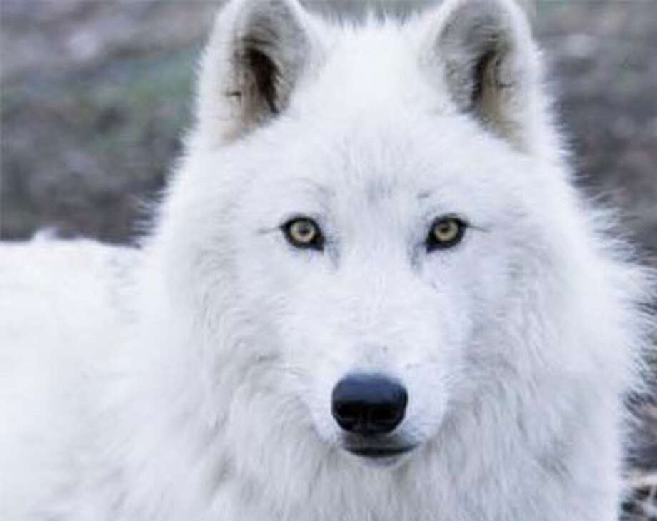 Atka, a wolf, will be at Shelton's St. Joseph School on Sept. 14.
