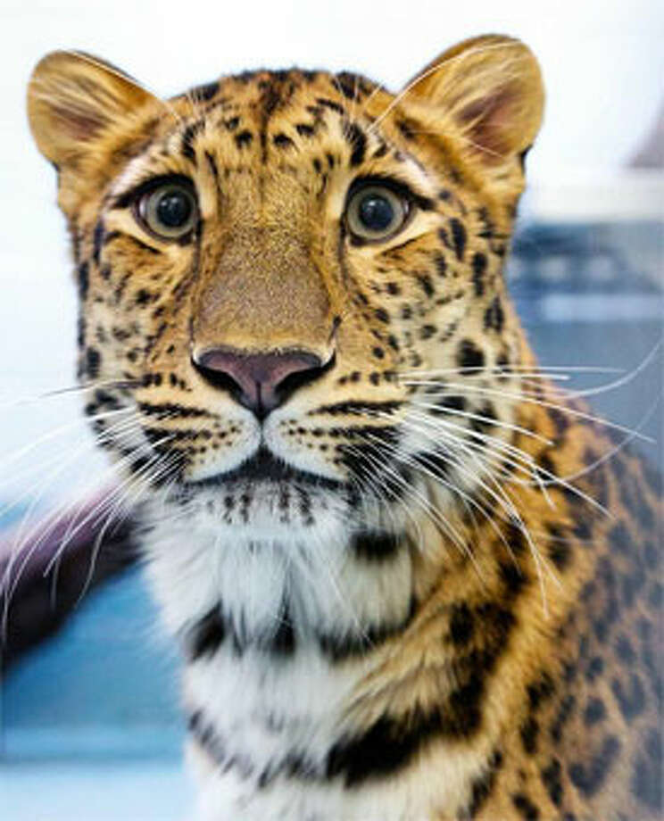 Sofiya, a rare Amur leopard now at Connecticut's Beardsley Zoo in Bridgeport. (Photo by Shannon Calvert)