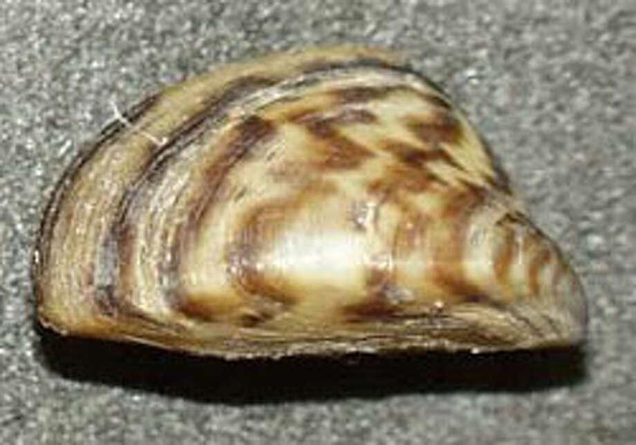 A zebra mussel.