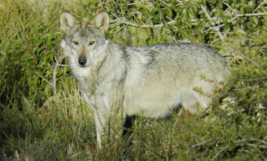 The Beardsley Zoo in Bridgeport now is home to three Mexican wolves, an endangered species shown here in the wild.