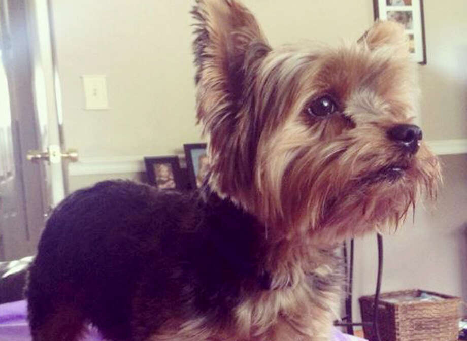 A Shelton family is looking for Curtis, their missing Yorkie.