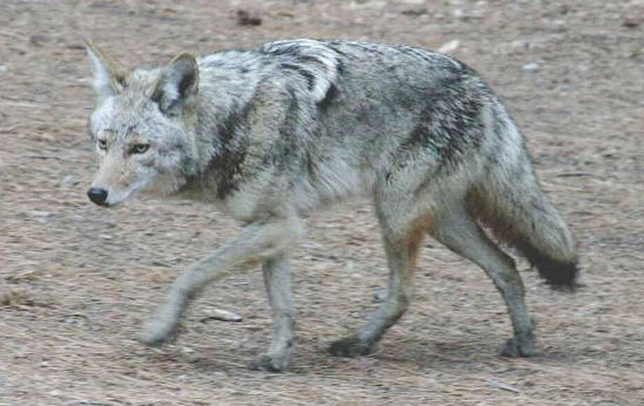 A file photo of a coyote.