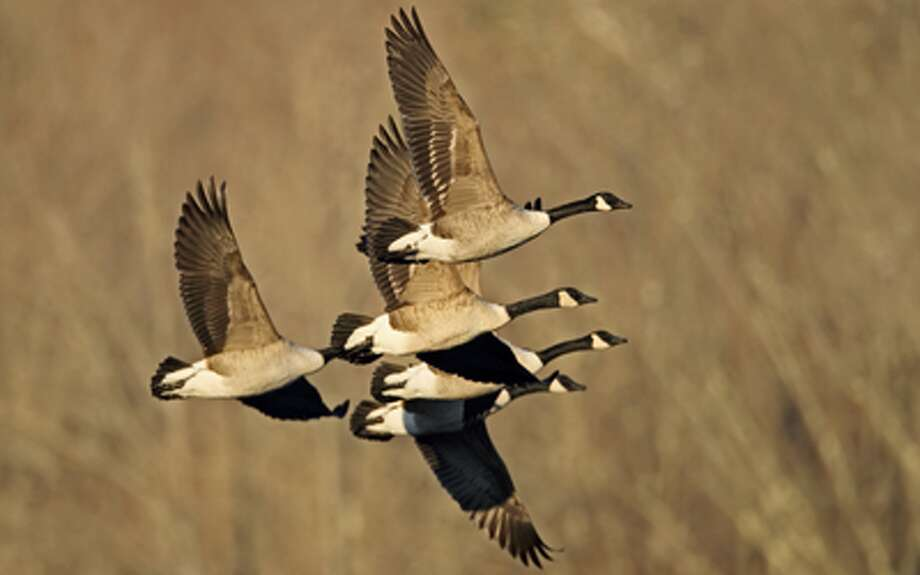 Canada geese fly over Connecticut.