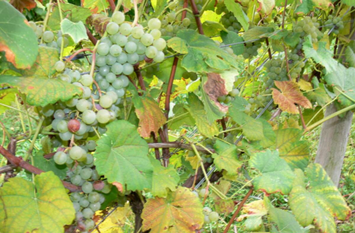 Table grapes are grown on Jones Family Farms so they can be used at the cooking school. Most of the grapes grown at the farm are used for making wine.