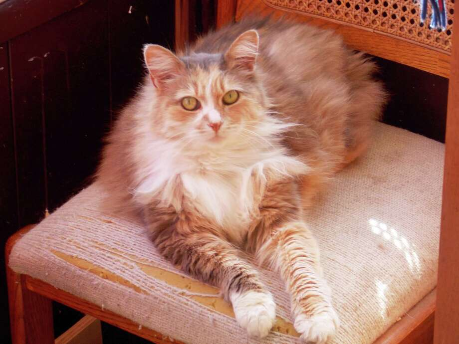 Dino Dal Pozzol of Torrington is asking for the public's aid in locating his lost female Calico cat Nika. Photo: Contributed Photo