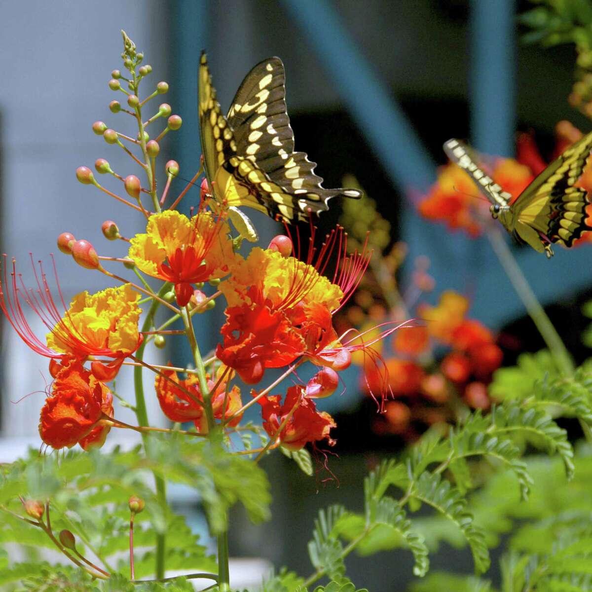 Pride of Barbados attracts butterflies.