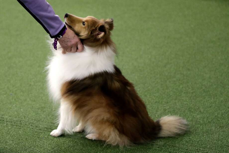 Swedish researchers focused on 58 people who own border collies or Shetland sheepdogs. They discovered that dog owners experiencing long bouts of stress can transfer it to their dogs. Photo: Wong Maye-E / Associated Press