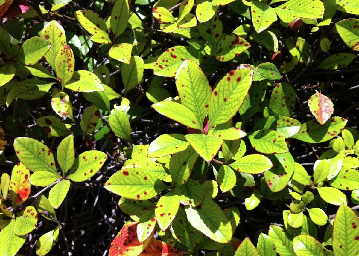 This Indian hawthorn is infected with Entomosporium fungal leaf spot.