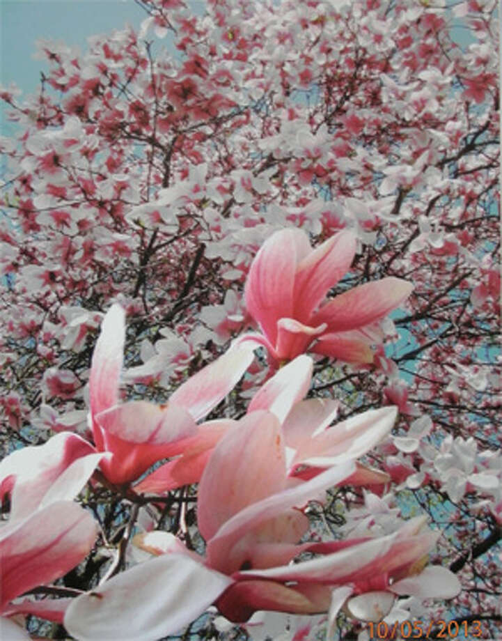 """Magnolia Tree"" by Leonard Ames, one of last year's photo contest winners."