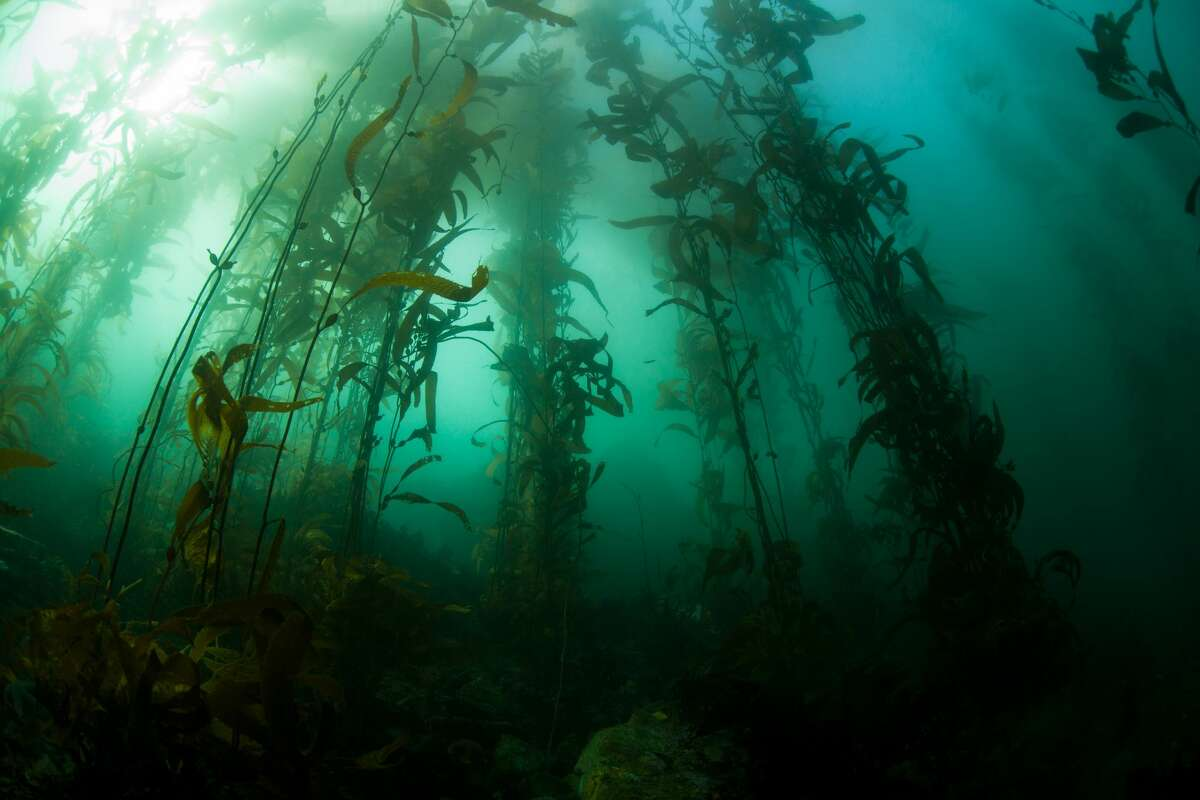 Giant kelp grows underwater in the Monterey Bay.A new study out of the Monterey Bay Aquarium and Monterey Bay Aquarium Research Institute reveals that there is more microplastic pollution deep in the Monterey Bay than the Great Pacific Garbarge Patch. The Great Pacific Garbage Patch has up to 12 parts of microplastics per cubic meter of water whereas the some parts of the Monterey Bay have up to 16 parts of microplastics per cubic meter of water, according to previous research and a new study done on the Monterey Bay.