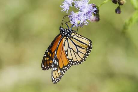 Recent rains have brought us an abundance of colorful butterflies like this Monarch