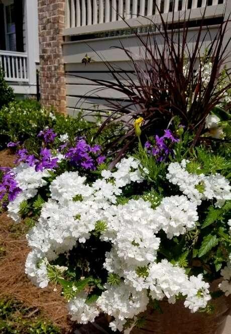 Superbena Whiteout verbena produces enormous flowers.