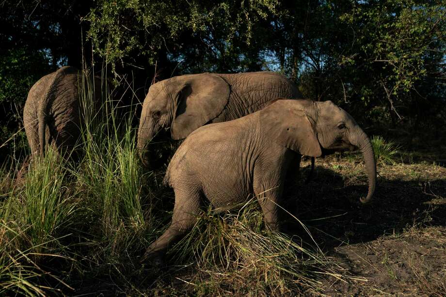 Molelo, Panda and Tuli eat and play in the grasses in the elephant orphanage at Elephants Without Borders in Kasane, Botswana. Photo: Washington Post Photo By Carolyn Van Houten / The Washington Post