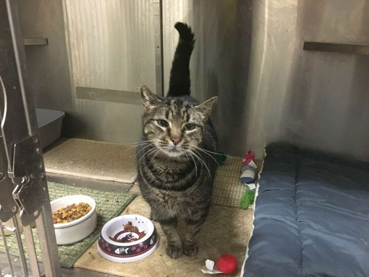 """Ginny, a 5-year-old cat up for adoption, is described as a """"joy to have around"""" by animal control officers. She is affectionate and friendly. Ginny has feline immunodeficiency virus (FIV), which means she should be the only cat in the home. -Kate Czaplinski photo"""