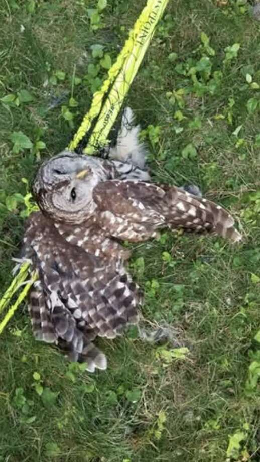 Animal Control Officers were called to Thoreau Drive for an owl stuck in a volleyball net.