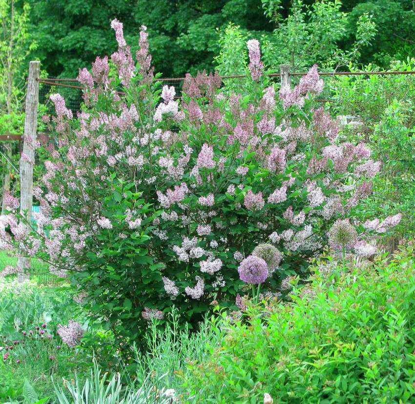 This undated photo shows Miss Kim lilac growing in New Paltz, N.Y. Miss Kim lilac is one of a number of species of lilac that differ from, and are worth growing in addition to or instead of the usual Common Lilac. (Lee Reich via AP)