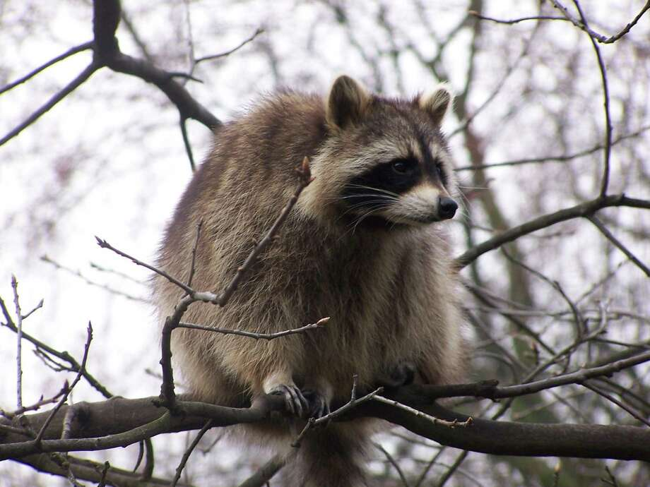 File photo of a raccoon. The raccoon pictured here is not an image of either raccoon found by Branford Animal Control. Photo: File Photo / Internal