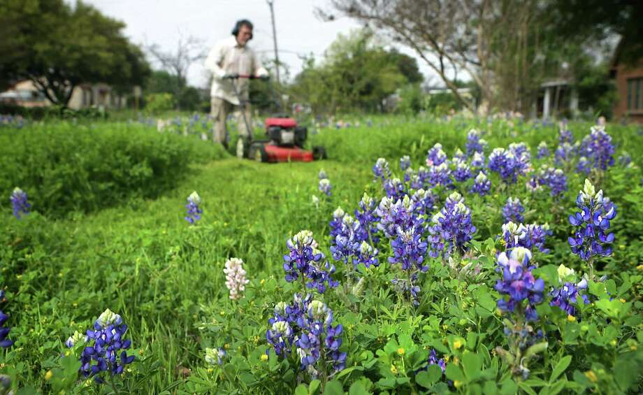 Joe Castillo carefully mows around bluebonnets as he cuts the grass at his daughter's house on North Dr., March 15, 2016. A reader is upset that wildflowers are being mowed along highways. Photo: Bob Owen /San Antonio Express-News / San Antonio Express-News