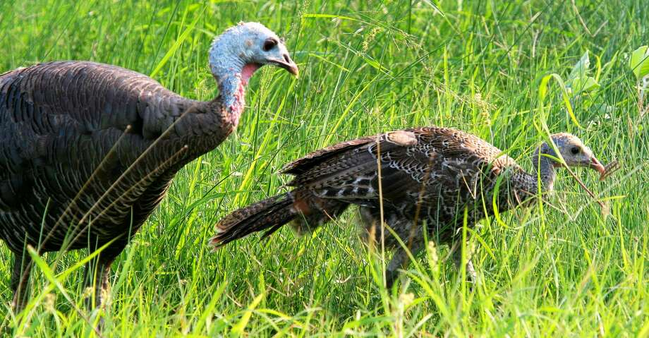 A wet, mild winter and spring resulting in an abundance of grasses, other low-growing herbaceous cover and a flush of insects appears to have greatly benefitted wild turkey nesting effort and success across Texas this year. Photo: Shannon Tompkins/Houston Chronicle