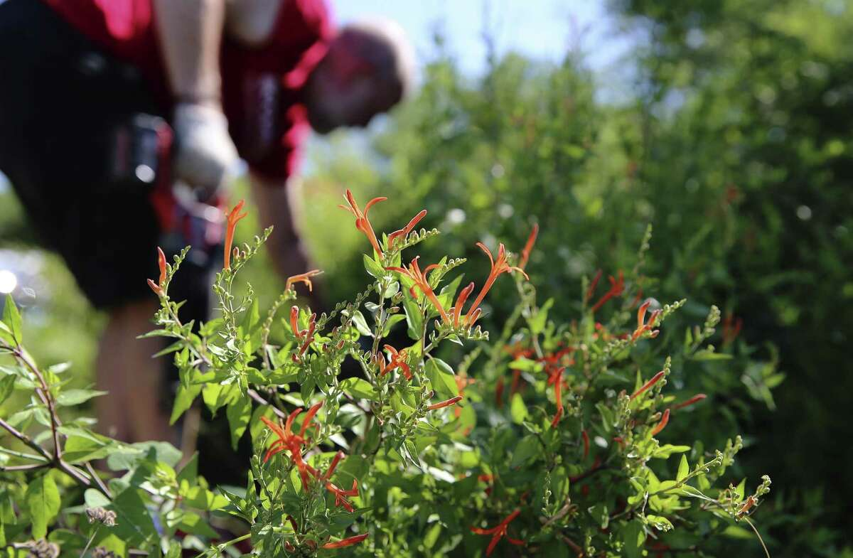 A Anisacanthus quadrifidis or Flame Acanthus plant flourishes in the sunlight as volunteer Stephen Craddock works to clear away non-native vegetation as the Mitchell Lake Audubon Center hosts a community cleanup of the native plants garden on Saturday, June 8, 2019. About 10 volunteers took part in pruning and weeding the gardens directly around Audubon Center house. The lake, the plants and vegetation on the 1,200-acre property are a critical stopover for 340 bird species during their migration. (Kin Man Hui/San Antonio Express-News)