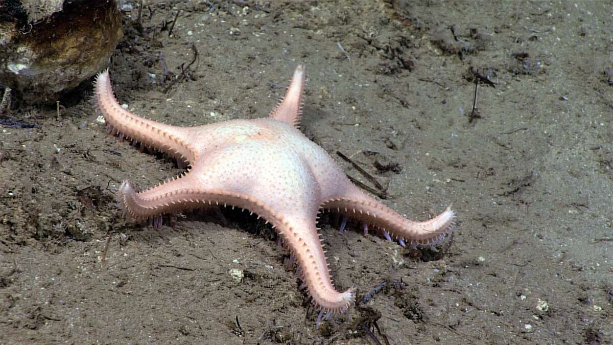 A potentially new species of Evoplosoma seen during Dive 12 of the Océano Profoundo 2018 expedition. (Source: National Oceanic and Atmospheric Administration)