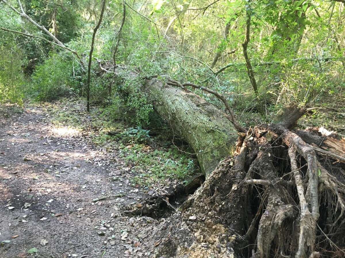 The damage from a powerful windstorm June 6 at Brazos Bend State Park. Trees were uprooted and strewn across trails. The park is not expected to re-open until July 1.