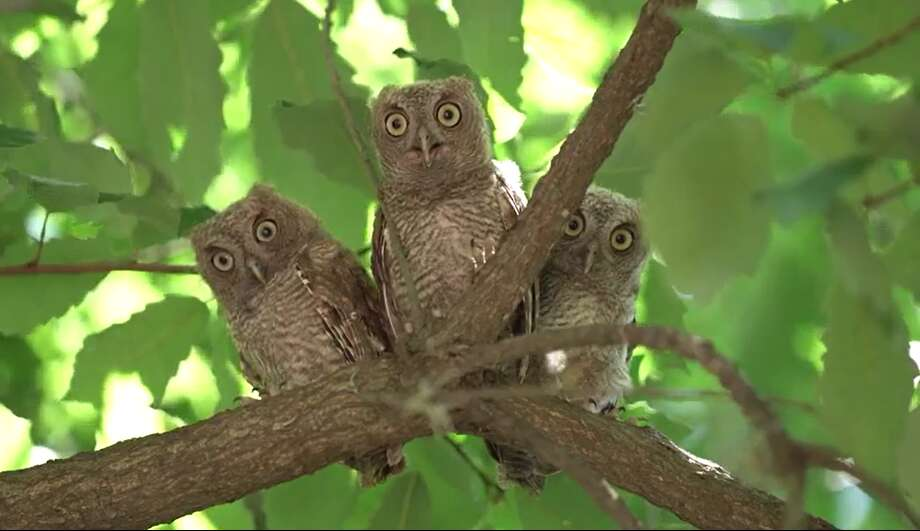 Three baby screech owls and their mother have nested outside Lovett College on the campus of Rice University. Contractors renovating the residential college found on June 10, 2019. Photo: Rice University, Brandon Martin