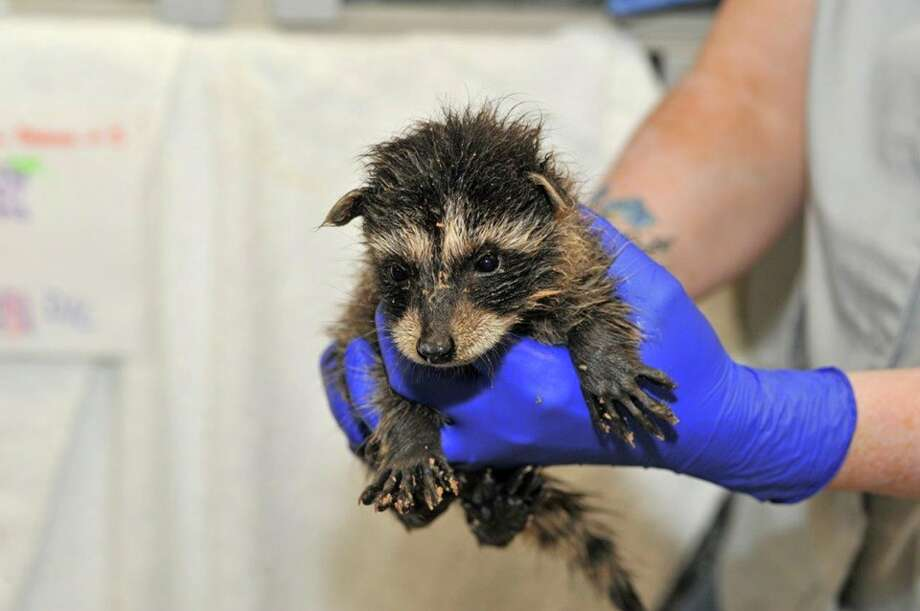 """Washington Department of Fish and Wildlife receives hundreds of """"rescued"""" animals that often ought to be left alone. Photo: Washington Department Of Fish And Wildlife"""