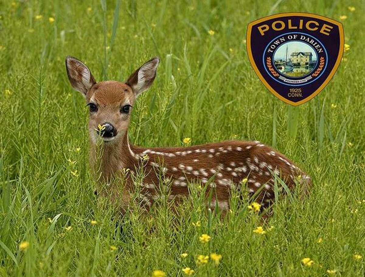 """The Darien Police Department and the Darien Animal Control Officer have received a significant increase in calls regarding """"abandoned fawns."""" When people see a fawn alone, they often mistakenly assume it is helpless, lost or needs to be rescued. In most cases, the fawn is fine."""