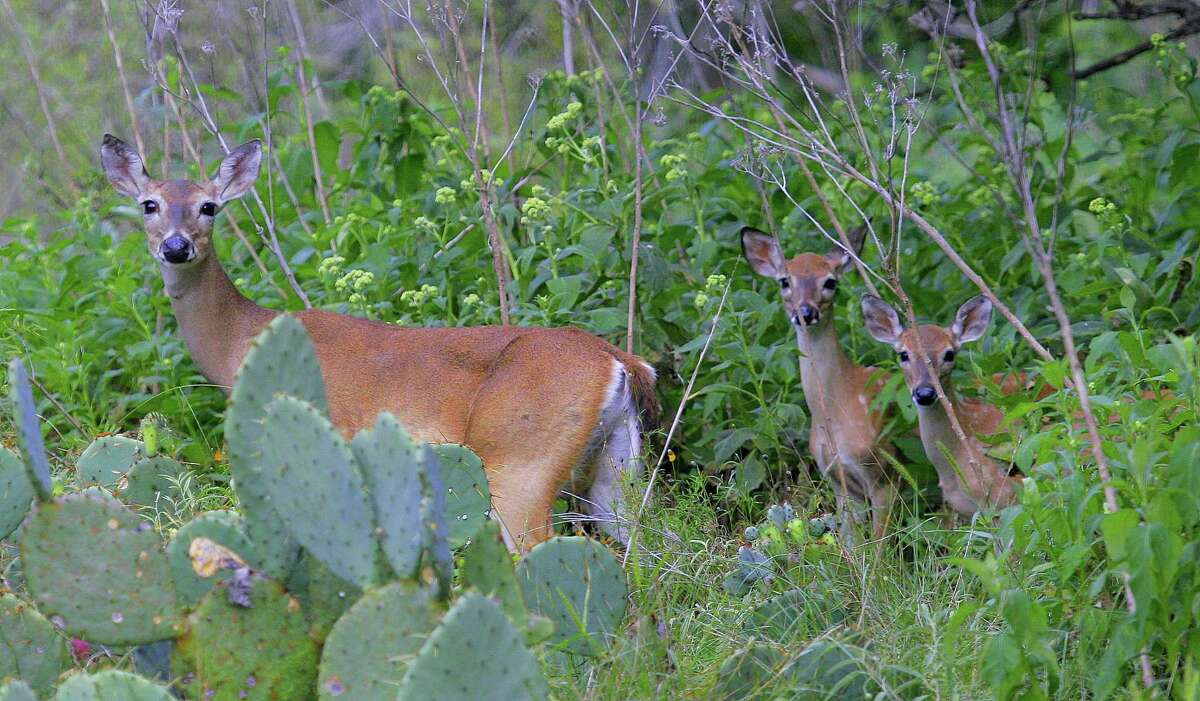 This week's expected rains will aid fawn survival by fueling a flush of vegetation growth that provides cover to hide newborns from predators and shield them from the effects of Texas' summer's often dangerously hot temperatures and dry conditions.