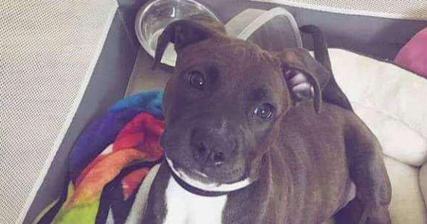 Damon, a 2-year-old pit bull, that attacked the owner Salvatore DiNovo's niece at their home on Clayton Road in Schenectady. (Salvatore DiNovo photo)