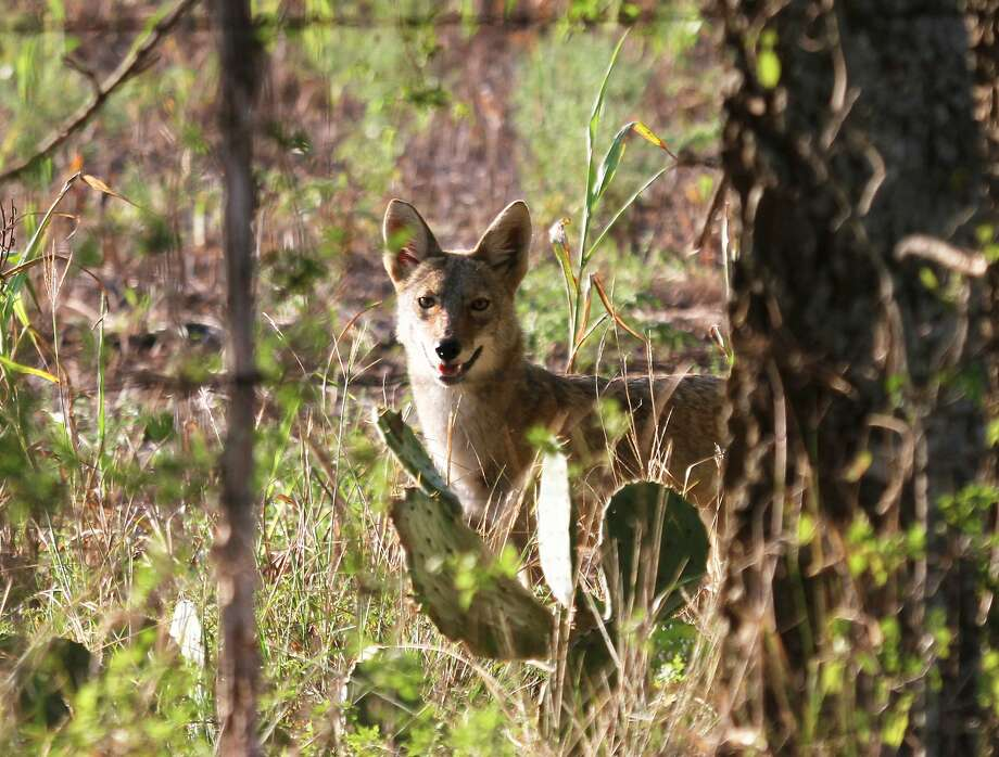 FILE -- Coyotes' ability to blend several vocalizations into their calls confounds most human listeners into significantly overestimating how many of the wild canids they are hearing - one of several insights into the iconic animals illuminated by research led by Dr. Scott Henke of Texas A& University-Kingsville. Photo: Shannon Tompkins, Houston Chronicle