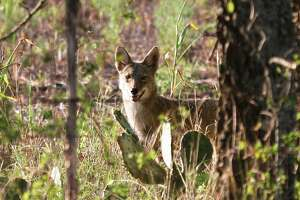 Coyotes' ability to blend several vocalizations into their calls confounds most human listeners into significantly overestimating how many of the wild canids they are hearing - one of several insights into the iconic animals illuminated by research led by Dr. Scott Henke of Texas A& University-Kingsville.