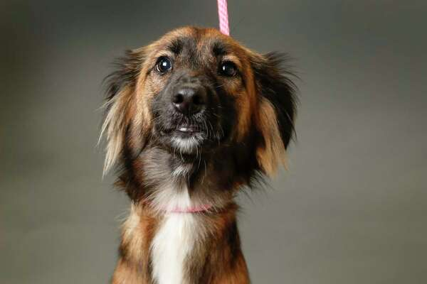 Kimber is a 1-year-old, female, Shepherd mix available for adoption at the Houston Humane Society, in Houston. (Animal ID: 41802010) Photographed Tuesday, June 11, 2019. Kimber is a very sweet dog, who loves to give people hugs.