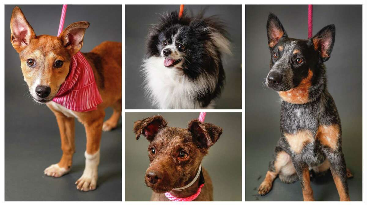 Layla (Left: 41790874) is a 5-month-old, female, Shepherd mix. Benny (Top: 41401085) is a 7-year-old, male, Pomeranian mix. Spunky (bottom: 41743828) is a 8-year-old, male, Terrier mix, and Blue (right: 41252850) is a 2-year-old, male, Australian Cattle Dog mix. All dogs available for adoption at the Houston Humane Society, in Houston. Photographed Tuesday, June 11, 2019.