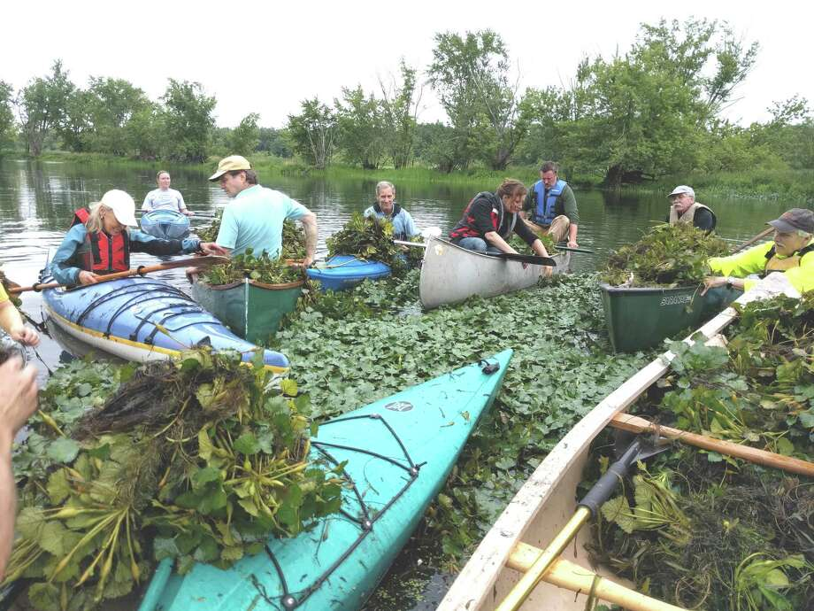 Paddlers clear invasive plants at the Floating Meadows freshwater, tidal marshland formed where the lower Coginchaug and Mattabesset rivers converge between Middletown and Cromwell. Photo: Contributed Photo