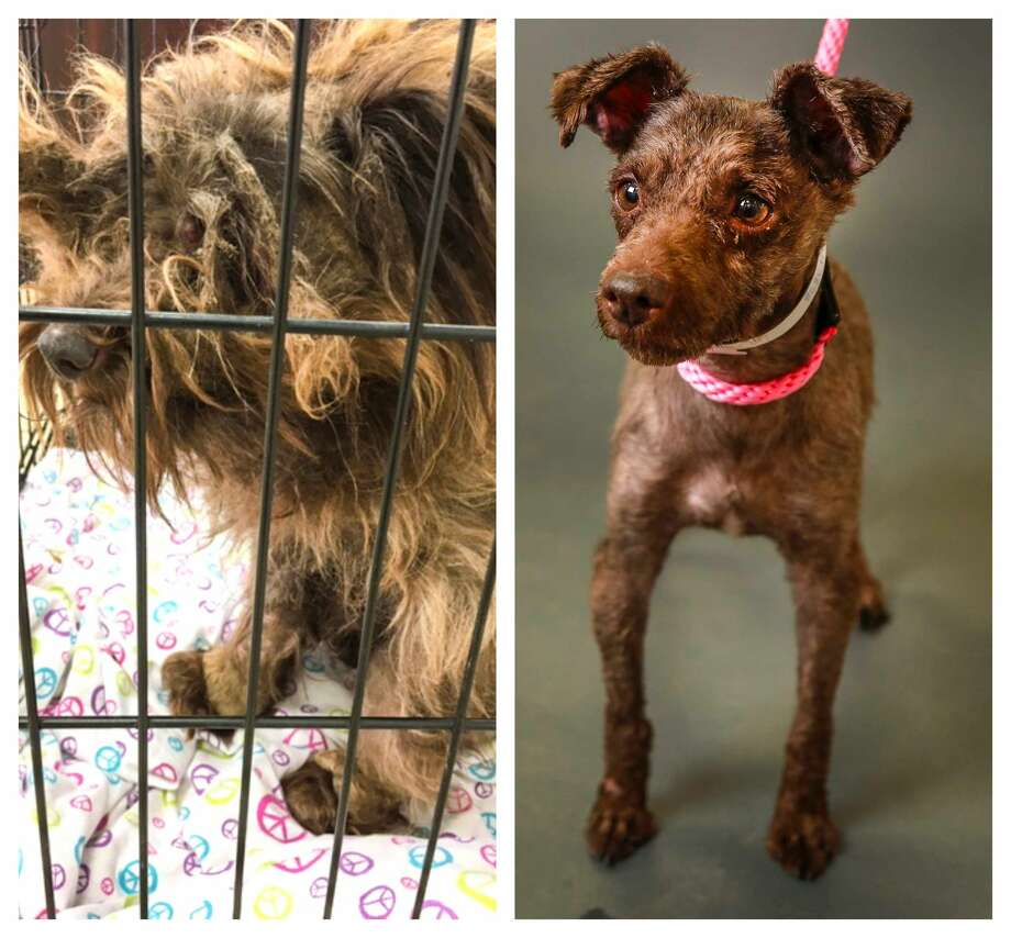 Spunky went from matted to cute and is now ready for adoption at the Houston Humane Society Photo: Karen Warren