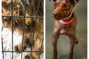 Spunky went from matted to cute and is now ready for adoption at the Houston Humane Society
