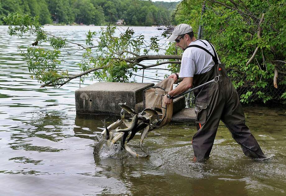 Todd Bobowick, with Rowledge Pond Aquaculture LLC. of Sandy Hook, releases sterile grass carp into Squantz Pond in New Fairfield, Thursday, June 8, 2017. In all 585 carp were added to Squantz and Candlewood Lake another 4,450 carp as part of the ongoing effort to battle the Eurasian watermilfoil, which has been spreading for years and interfering with recreational use of the water. This is the first time the sterile grass carp, which have a voracious appetite for milfoil, has been introduced to Squantz Pond. Photo: Carol Kaliff / Hearst Connecticut Media / The News-Times