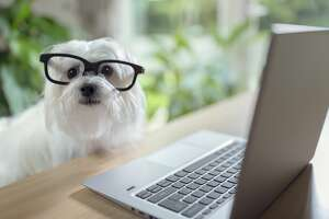 Dog with glasses using laptop computer   office dog stock photo