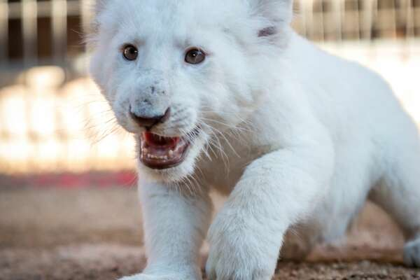 """Animal World and Snake Farm Zoo welcomed two female cubs to their park which will debut this weekend. The zoo is hosting a debut event on Saturday, when guests can see the cubs in the nursery from 10 a.m. to 12 p.m. The additions will also be a part of the """"Little Safari"""" show, later that day at 5:30 p.m., according to event details shared online"""