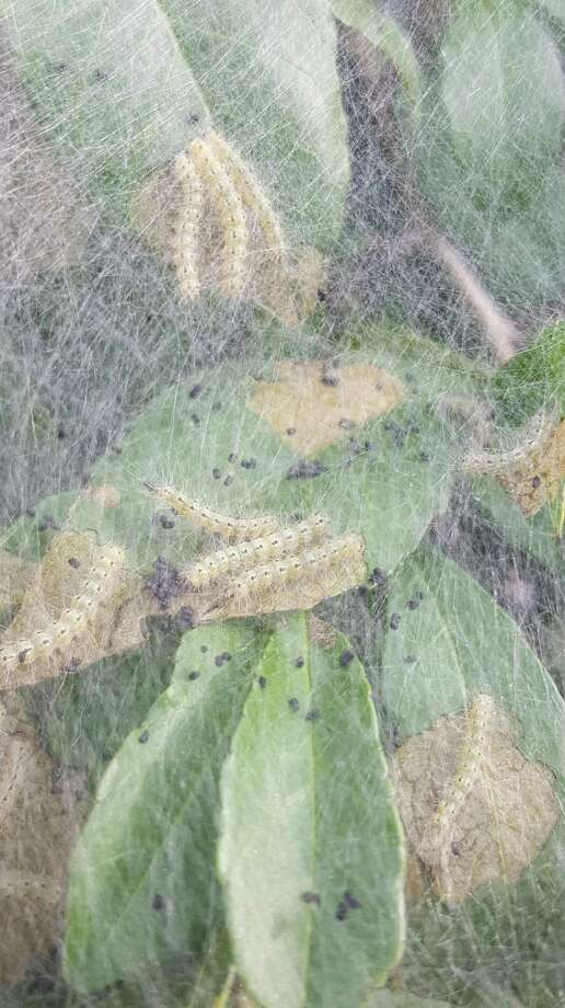 Webworms are difficult to control because of their extensive webbing as seen here. Photo: Photo By Michael Potter