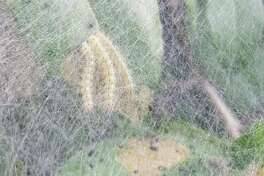 Webworms are difficult to control because of their extensive webbing as seen here.
