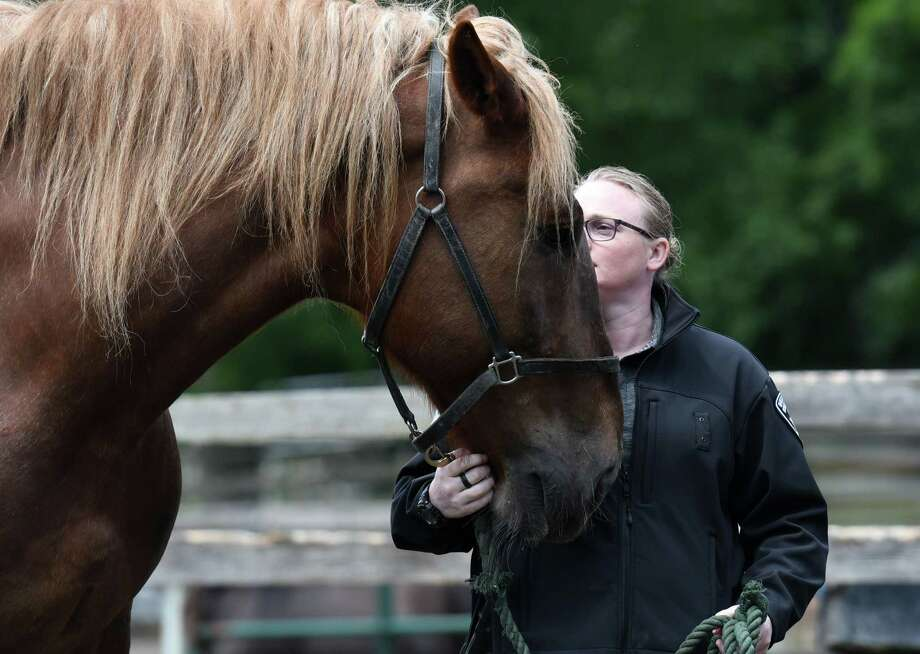 """Otsego County Deputy Sheriff Erika Puffer leads horse """"Paul Bunyan"""" during training on how to investigate equine cruelty and neglect cases on Thursday, June 13, 2019 at Little Brook Farm in Chatham, NY. (Phoebe Sheehan/Times Union) Photo: Phoebe Sheehan, Albany Times Union / 40047252A"""