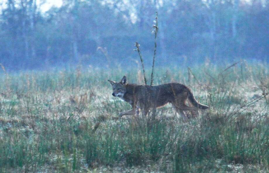 Coyotes are a common sight in Texas, but residents in Kirby have reported seeing more and more in recent weeks. Officials issued an advisory urging residents to report any incident to the city. Photo: Shannon Tompkins / Houston Chronicle