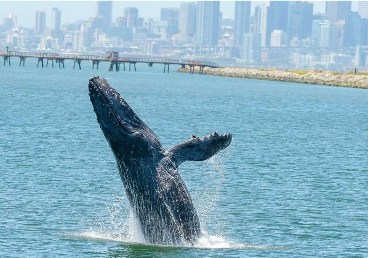 FILE - An ailing humpback whale know as Allie has made San Francisco Bay her home since May 27, 2019. Experts believe she is underweight and came to the bay in seek of shelter.