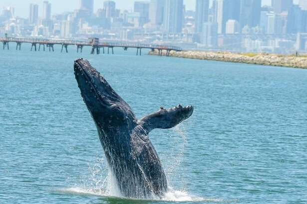 An ailing humpback whale know as Allie has made San Francisco Bay her home since May 27, 2019. Experts believe she is underweight and came to the bay in seek of shelter.