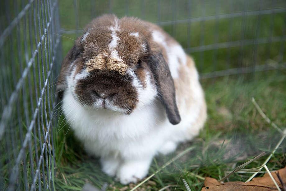 A grange fair bunny. — Bryan Haeffele photo / BryanHaeffele