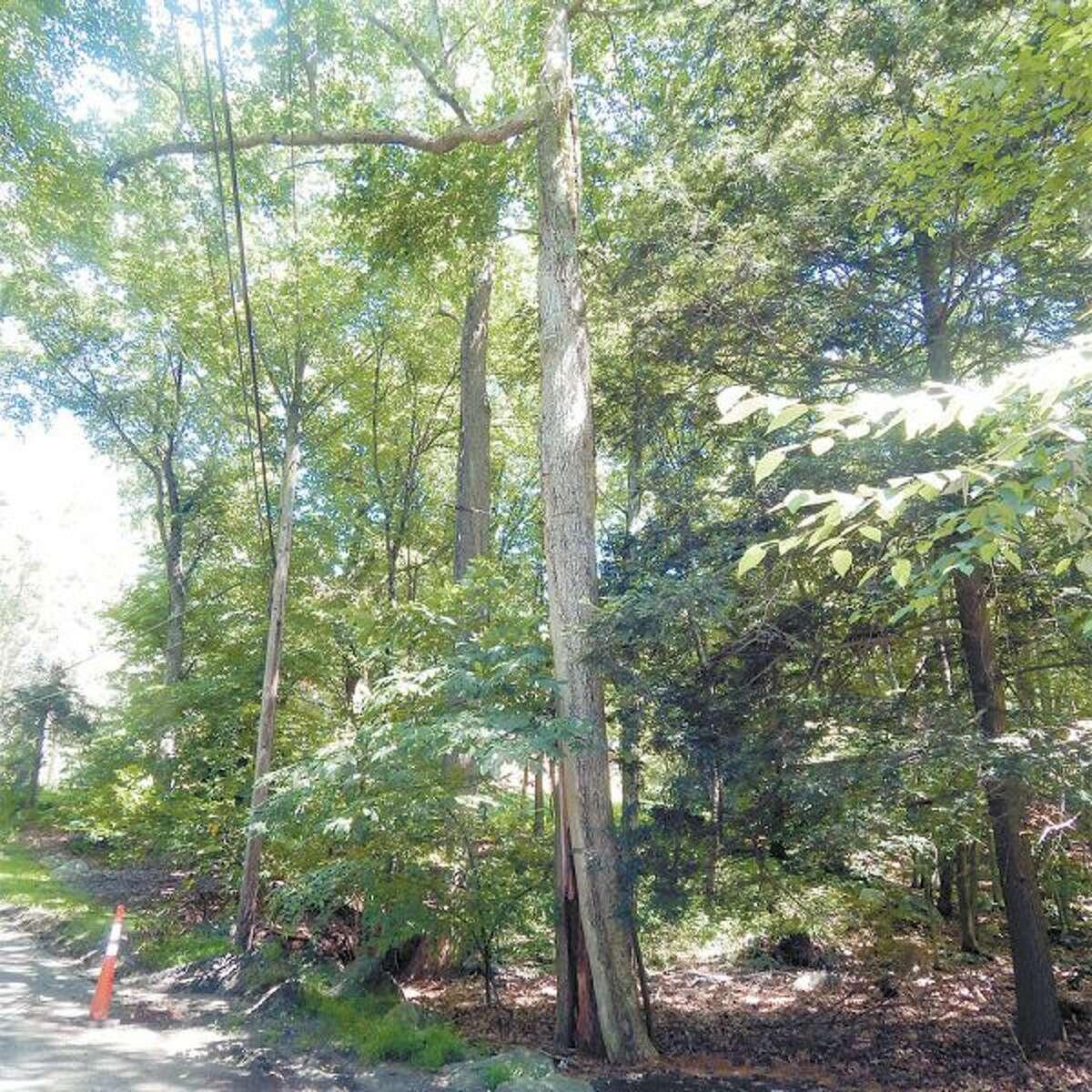 wilt-900x900-WB-NWS-SA-kingdom-ridge-tree-(zoomed-out)-7-26